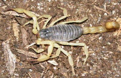 Desert Hairy Scorpion, Hadrurus spadix, and Giant Hairy Scorpion species H. hirsutus and H. arizonensis