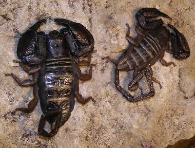 Flat Rock Scorpion, Hadogenes paucidens, also called South African Flat Rock Scorpions