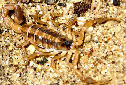 Animal-World info on Striped Scorpion