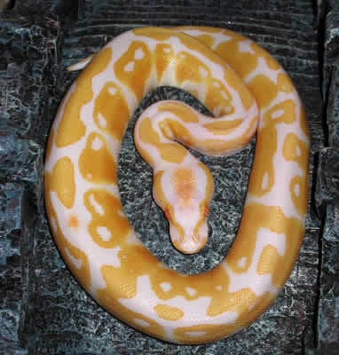 Picture of an Albino Ball Python