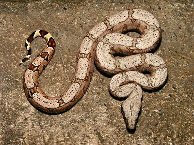 Picture of a Columbian Boa or Common Boa