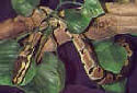 Animal-World's Featured Pet of the Week: The Ball Python!