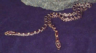 Picture of Corn Snakes