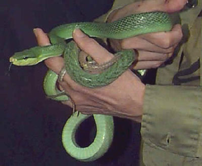 Picture of a Red-tailed Green Climbing Rat Snake