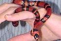 Animal-World info on Tangerine Honduran Milksnake