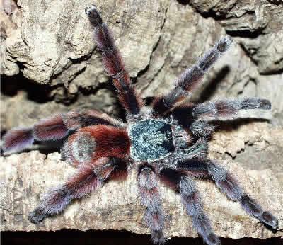 Antilles Pinktoe Tarantula, Avicularia versicolor, Martinique Red Tree Spider