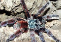 Animal-World info on Antilles Pink Toe Tarantula
