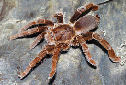 Click for more info on King Baboon Spider