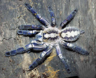 Gooty Sapphire Ornamental Tree Spider, Poecilotheria metallica, Metallic Blue Ornamental Tree Spider, Gooty Tarantula