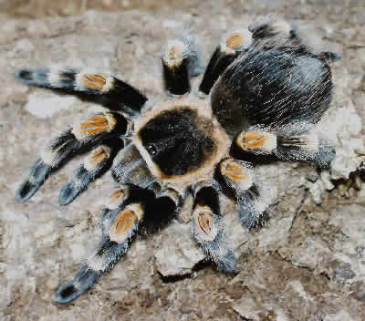 Mexican Red-kneed Tarantula, Brachypelma smithi, Mexican Red Knee Tarantula, Red-kneed Tarantula