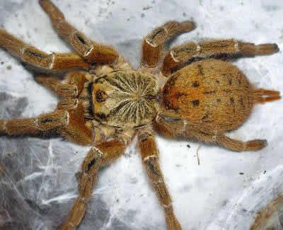 Mombasa Golden Starburst Baboon Spider, Pterinochilus murinus, Mombasa Baboon Spider, Orange Baboon Tarantula