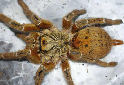 Animal-World info on Mombasa Baboon Spider