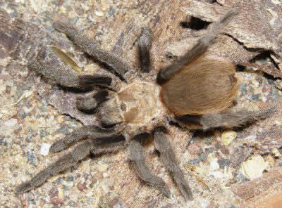 Oklahoma Brown Tarantula, Aphonopelma hentzi, also called Texas Brown Tarantula and Missouri Tarantula