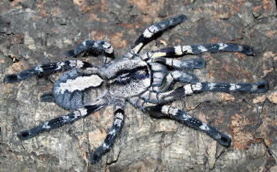 Ornamental Tree Spider, Poecilotheria regalis, Indian Ornamental Tree Spider, Indian Ornamental Tarantula