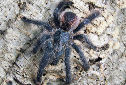 Animal-World info on Pink-toed Tarantula