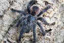 Animal-World info on Pink-toed Tarantula
