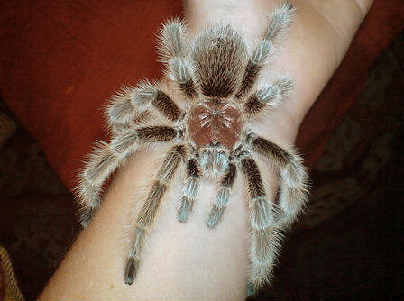 Rose Hair Tarantula, guides for tarantula and tree spider species