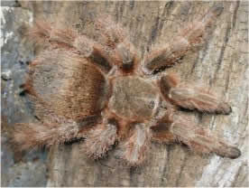Rose-haired Tarantula or Chilean Rose-haired Tarantula, in the reddish phase