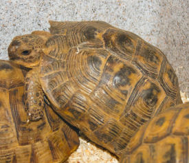 Picture of a Golden Greek Tortoise or Spur-thigh Tortoise, Testudo graeca Sp.