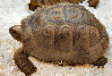 Animal-World info on Greek Tortoise