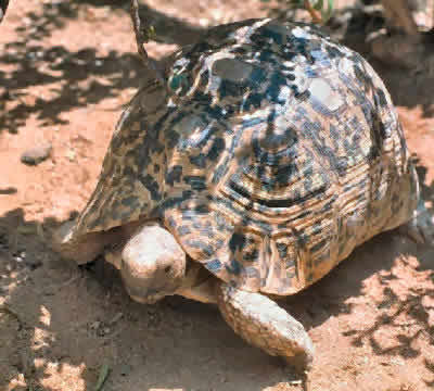 Picture of a Leopard Tortoise, Geochelone pardalis