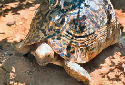 Animal-World info on Leopard Tortoise