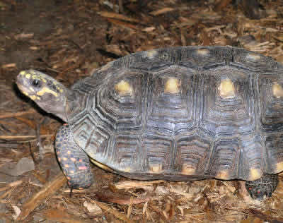 Picture of a Red-footed Tortoise, Geochelone carbonaria