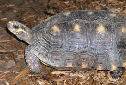 Click for more info on Red-footed Tortoise