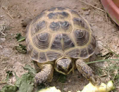 Picture of a Russian Tortoise, Testudo horsfieldii