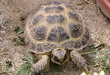 Animal-World info on Russian Tortoise