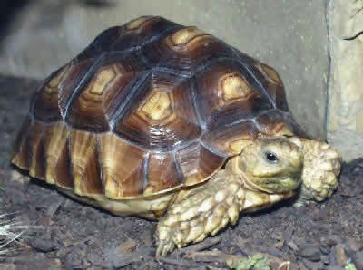 Picture of an African Spurred Tortoise or Sulcata Tortoise, Geochelone sulcata
