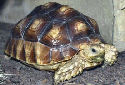 Animal-World info on Sulcata Tortoise