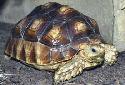 Click for more info on Sulcata Tortoise