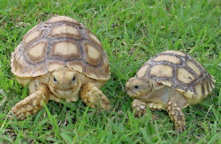 Picture of juvenile African Spurred Tortoises or Sulcata Tortoises