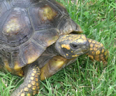 Picture of a Yellow-foot Tortoise, Geochelone denticulata