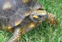 Animal-World info on Yellow-foot Tortoise