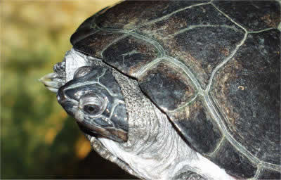 Picture of an African Side-necked Turtle, Pelusios sinuatus