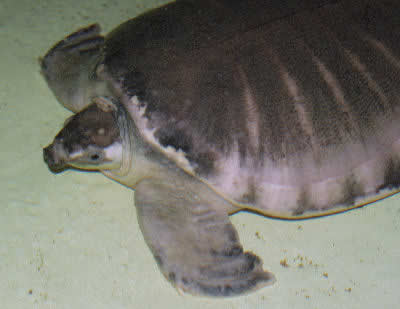 Picture of a Pig-nosed Turtle or Fly River Turtle