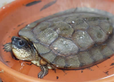Picture of a Black Wood Turtle, Rhinoclemmys Rhinoclemmys funerea