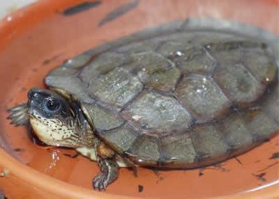 Picture of a Black Wood Turtle, Rhinoclemmys Rhinoclemmys funerea