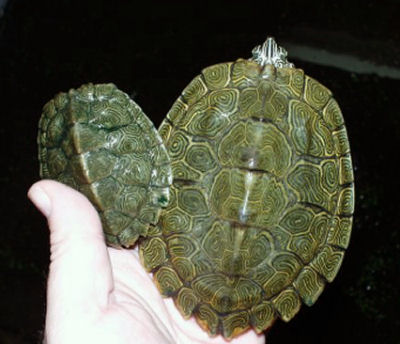 Picture of a Cagle's Map Turtle, Graptemys caglei