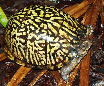 Picture of an Eastern Box Turtle, Terrapene carolina carolina