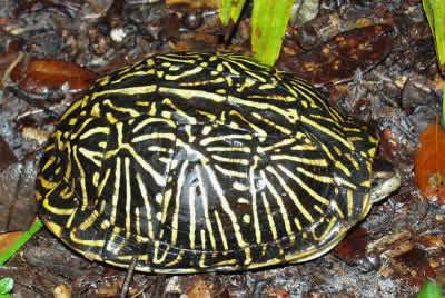 Picture of a Florida Box Turtle, Terrapene carolina carolina