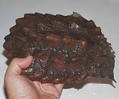 Picture of a Matamata Turtle, Chelus fimbriatus