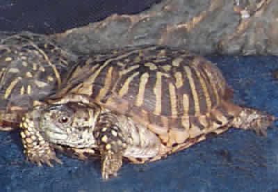 Picture of an Ornate Box Turtle, Terrapene ornata ornata