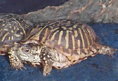 Picture of an Ornate Box Turtle, Terrapene ornata ornata