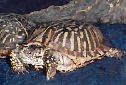Click for more info on Ornate Box Turtle