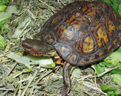 Picture of an Ornate Wood Turtle, Rhinoclemmys p. manni