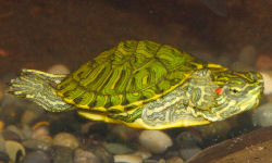 Picture of a baby Red Eared Slider