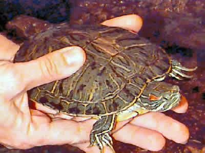 How Big Do Red Eared Sliders Grow